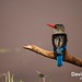 Lake Manyara, Tanzania - Male Grey-Headed Kingfisher by GlobeTrotter 2000