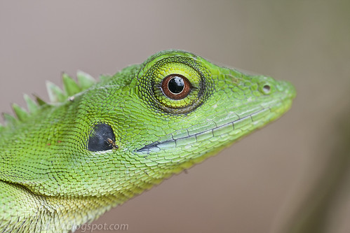 green crested lizard IMG_1091 copy