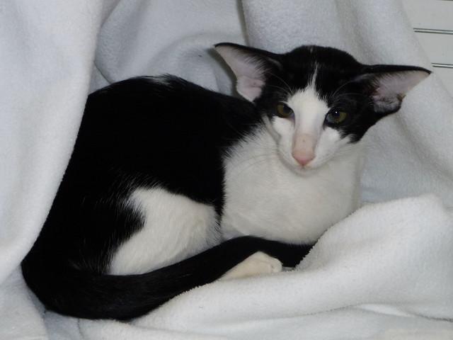 Black and White Oriental Kitten