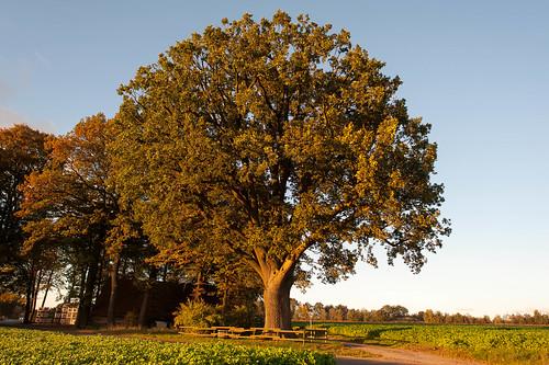 Oak Tree Osnabrücker Land