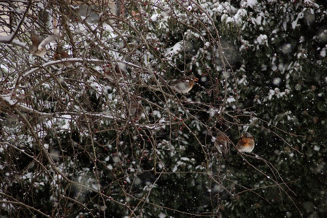 Fieldfares in a hawthorn tree, with snow falling