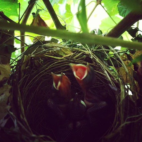 new neighbours moved in while we were away, right next to the back door! #nest #babybirds #bulbul