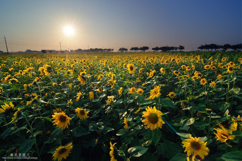 冬陽下的向日葵