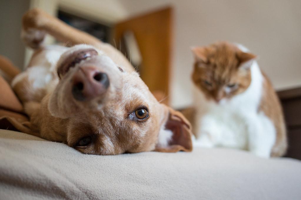 как кошку познакомить с щенком