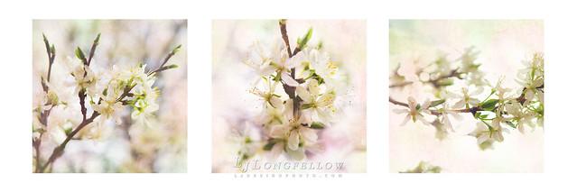 Plum Blossom Pastel 31/365