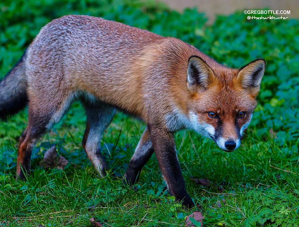 Foxy coming to see me