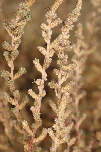 Camphorosma monspeliaca subsp. monspeliaca (Chenopodiaceae)