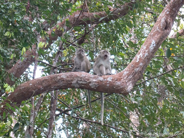 A pair of crab-eating macaques (also known as long-tailed macaques)