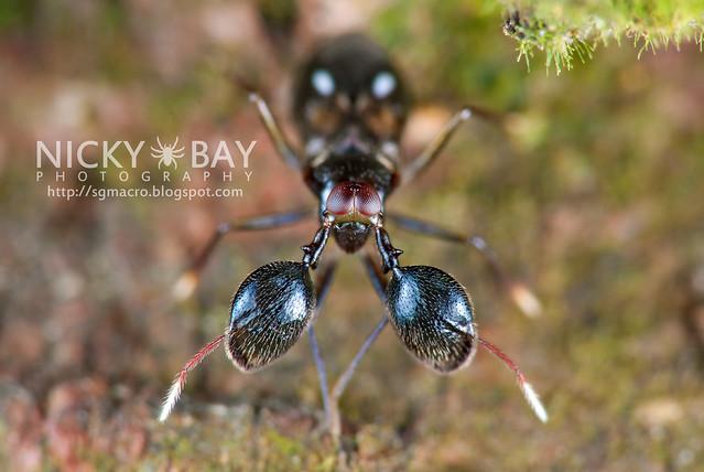 Mirid Bug (Sophianus sp.?) - DSC_8724