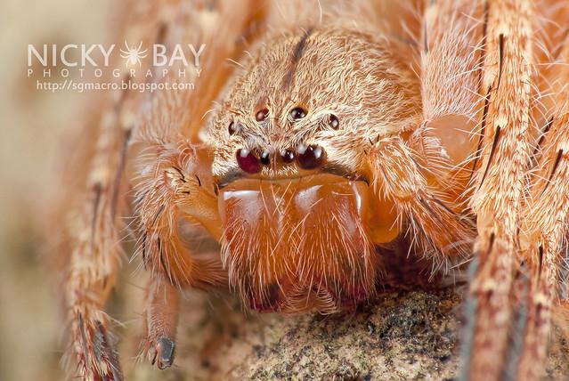 Huntsman Spider (Sparassidae) - DSC_8236