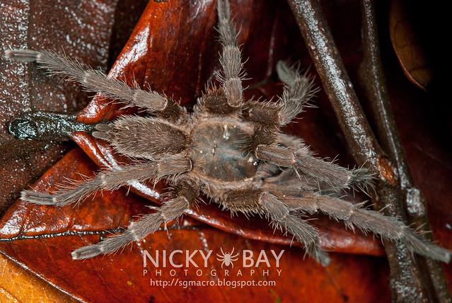 Tarantula (Phlogiellus inermis) - DSC_8203