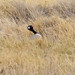 Small photo of Northern Black Korhaan (Afrotis afraoides)