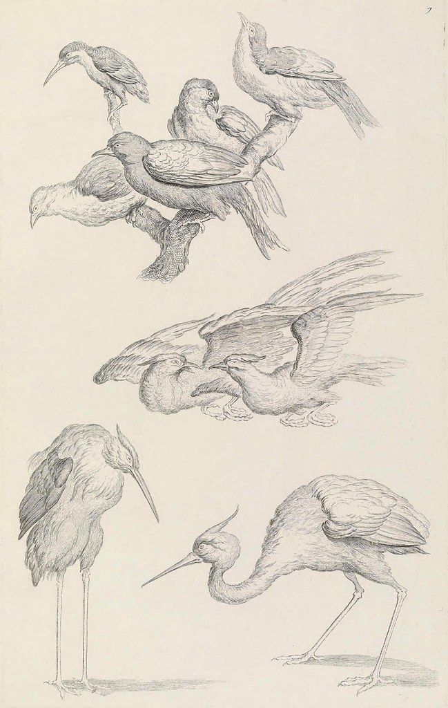 black and white engraving of birds for ornithological book 1730s by Huquier