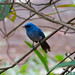 Small photo of African Blue Flycatcher (Elminia longicauda)