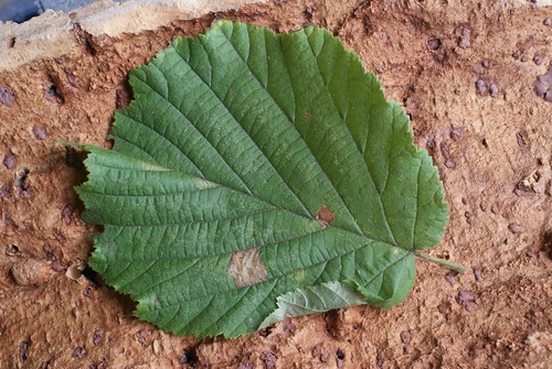 Parornix devoniella leaf mine and fold
