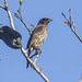 Small photo of Palmchat (Dulus dominicus)