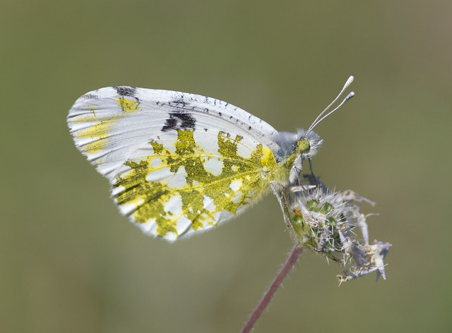 Eastern dappled white butterfly