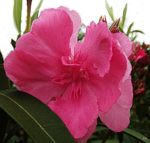 Simplemente una adelfa (flor de otoño 5)