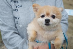 dog breed, animal, puppy, dog, pet, volpino italiano, german spitz, finnish spitz, german spitz mittel, carnivoran, pomeranian,