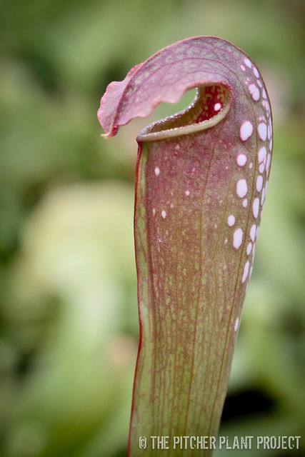 "Sarracenia minor var. okefenokeensis x ""Green Monster"""