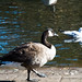 Small photo of Goose step on the bank of Ravenscourt Park pond