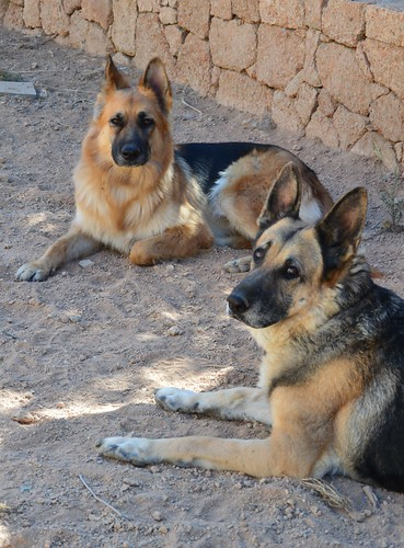 Two German Shepherd - Perla & Cala