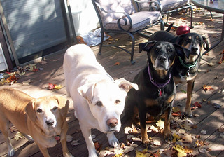 4dogs_101312g