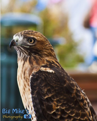 Red-Tailed Hawk by Big Mike's Photography