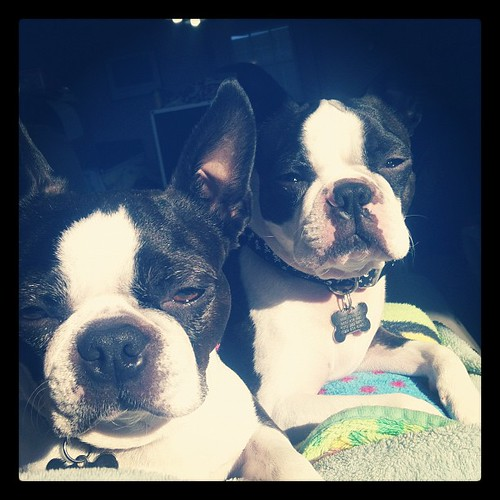Moments lap is where the sunny spot is.  #bostonterrier #instadog #ilovemydog #dogsofinstahram