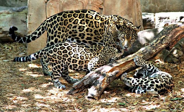 Jaguars Playing