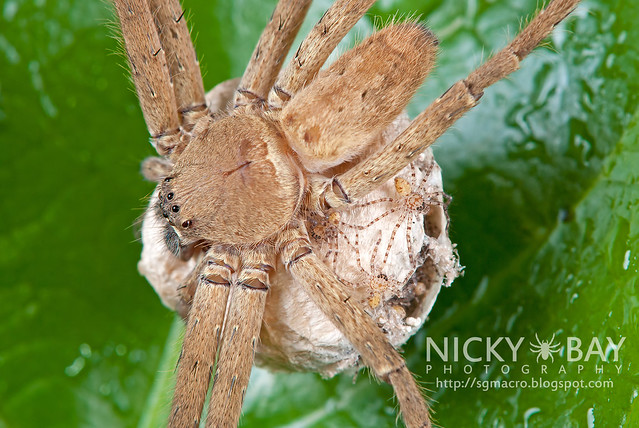 Huntsman Spider (Sparassidae) - DSC_4645