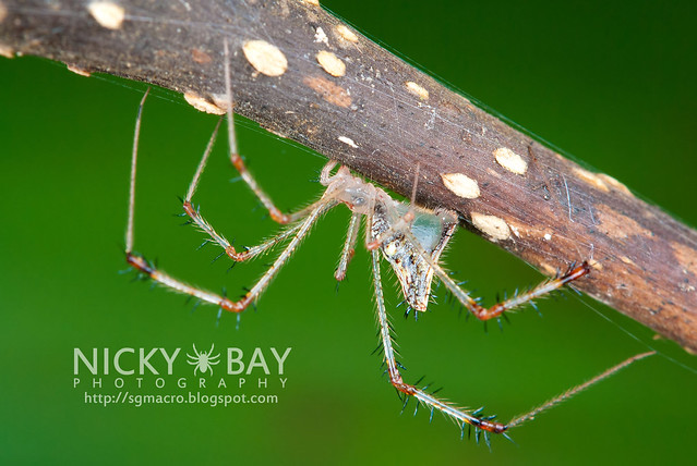 Golden Comb-footed Spider (Chrysso sp.) - DSC_4140