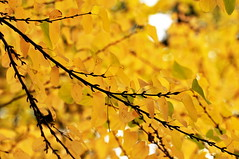 Fall Katsura Branches
