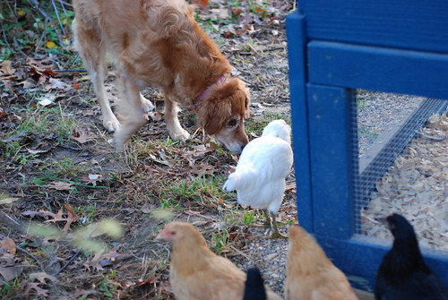 Dog + chicken