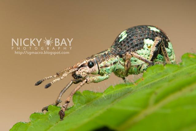 Weevil (Curculionidae) - DSC_2672