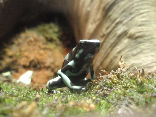poison dart frog (3)