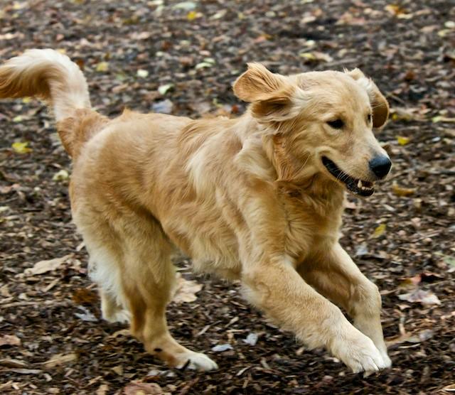 Golden Retriever Puppy Running   Liam was nine months old ...
