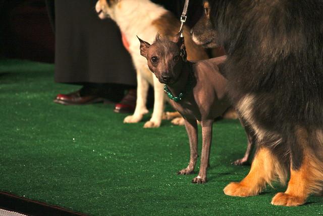 Xoloitzcuintli puppy |...