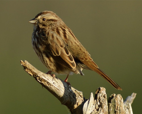 Song Sparrow, Ware, MA by Janaswamy