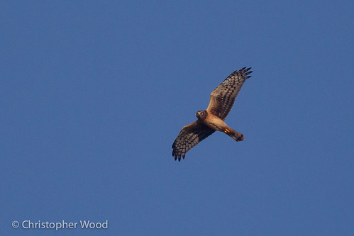 usa newyork bird animal us circus immature juvenile harrier monroecounty falconiformes accipitridae northernharrier circuscyaneus firstcycle hawkseagles 1stcycle