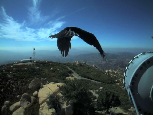 bird clouds webcam wildlife backcountry southerncalifornia raven wildland canadianmapleleaf universityofcaliforniaatsandiego sandiegocountycalifornia lyonspeak hpwren