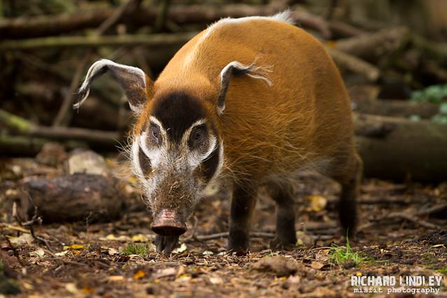 R Hogs Red River Hogs ...
