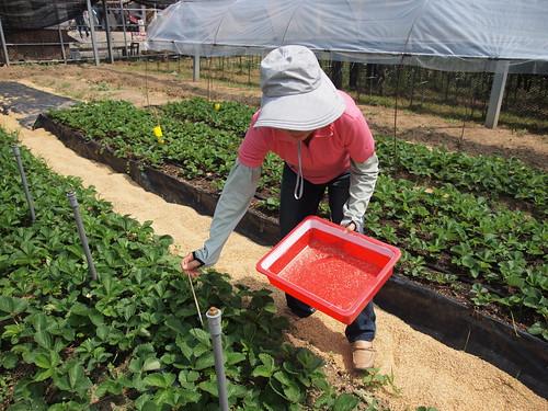 草莓園釋放草蛉。(圖片來源:苗栗區農業改良場)