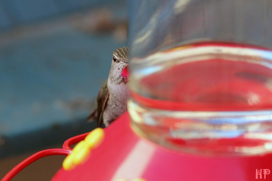 Anna's Hummingbird 102512-4