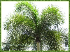 Wodyetia bifurcada (Foxtail Palm): close-up of its foxtail-like fronds