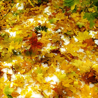 maple carpet