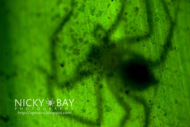Huntsman Spider (Sparassidae) - ESC_0021