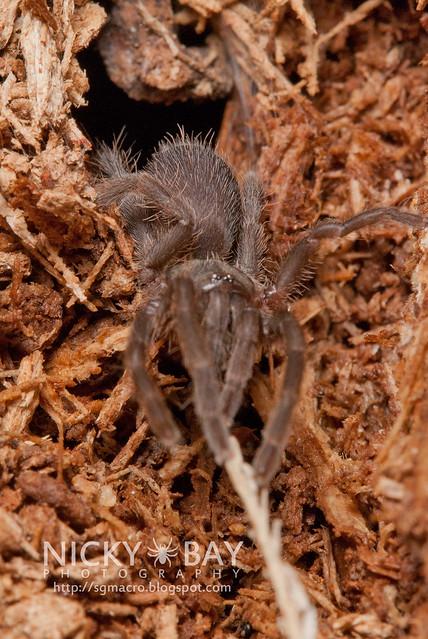 Tarantula (Phlogiellus sp.) - DSC_9738