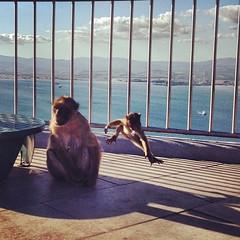 Monkeying around. #freethegibs