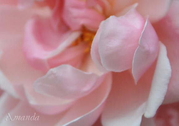 rose_3461